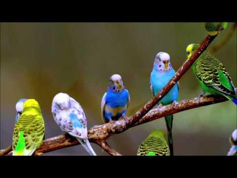 Birds Sounds Parrots | Ringtones For Android | Animal Ringtones