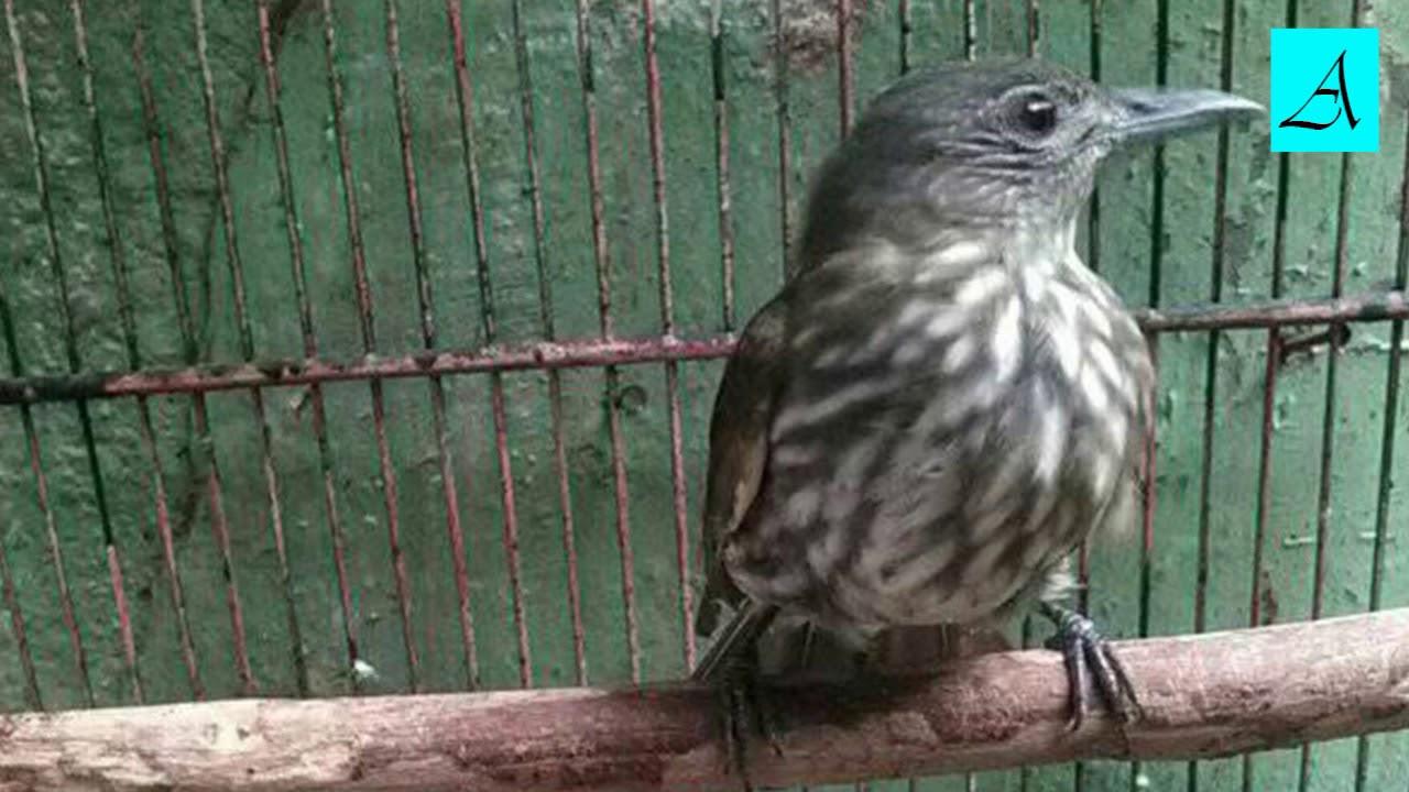 Cukup 3 Menit Burung Siri Siri Bakal Buka Paruh Dan Gacor Youtube