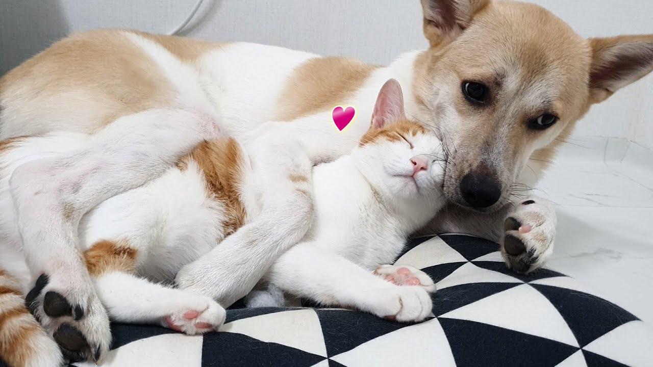 매일 강아지 품에 꼭 안겨서 자는 고양이. 아직도 자기가 아기인 줄 알아요. I Awesome friendship of Dog & Cat.