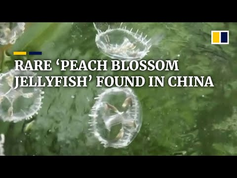 critically-endangered-jellyfish-found-in-freshwater-pond-in-southwest-china