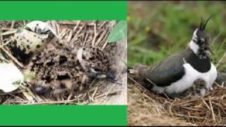 Голоса птиц  Чибис
