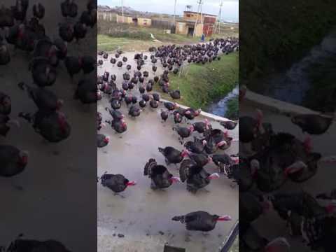 Army of Turkeys Gobble
