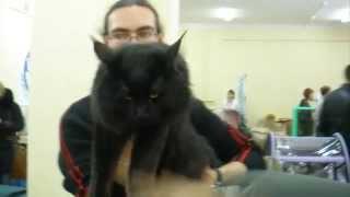 Мейн кун - метровая кошка с кисточками на ушах на выставке кошек