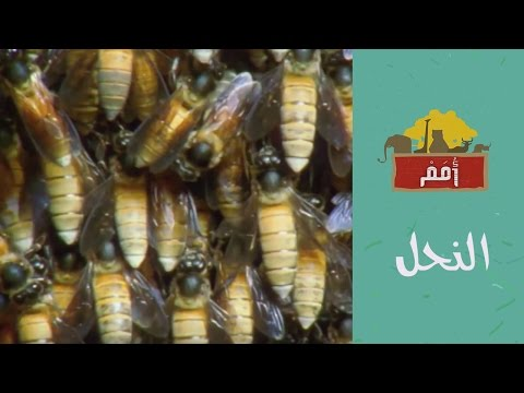 Omam | أمم | النحل ويكيبيديا