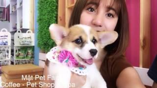 Corgi , mẹ Mật được tặng chó Corgi vào ngày sinh nhật , yêu ch.ết được - Mật Pet Family