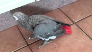 Potty trained parrot - unbelievable !