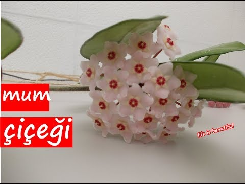 MUM ÇİÇEĞİ 3. BÖLÜM- ÇİÇEKLER AÇTI-hoya carnosa flowers