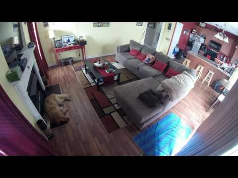 Golden Retriever Home Alone Time-Lapse