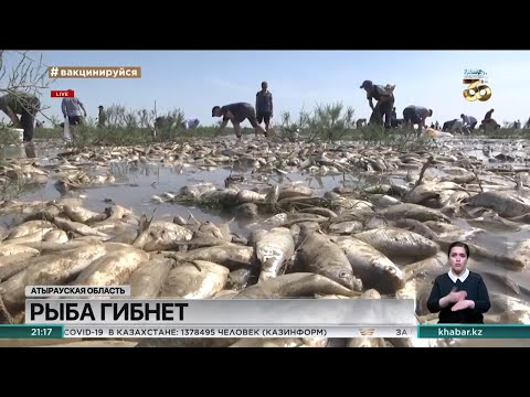 Рыба тоннами гибнет в Атырауской области