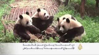 دب الباندا يخرج من قائمة الحيوانات المهددة بالانقراض