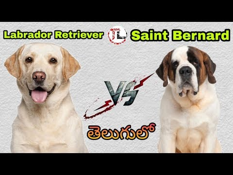 Labrador retriever Vs Saint Bernard | Dog vs Dog Series | Telugu