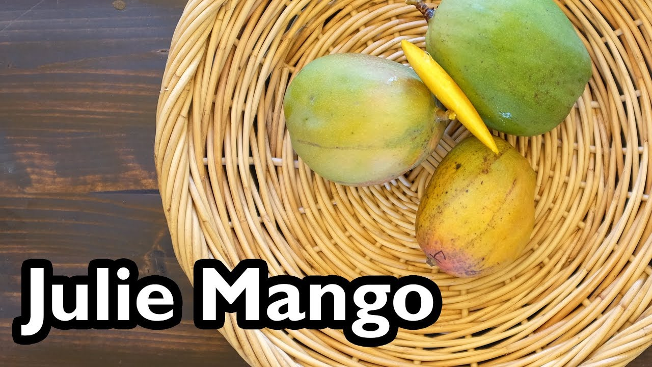 Ideal Truly Tropical Mango Varieties- 'Julie' - YouTube IC79