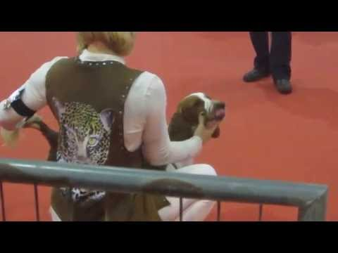 Welsh Springer Spaniels in Junior bitch class Murcia 13th November 2016