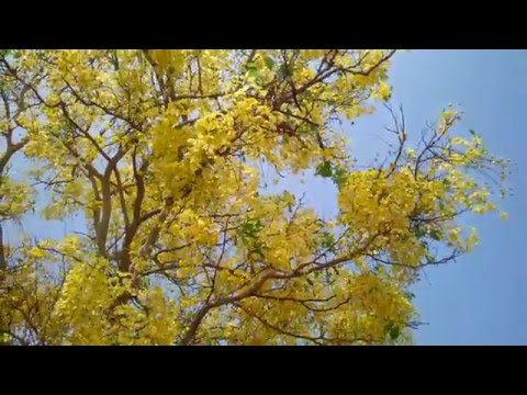 "10 x Golden Rain Tree semi-KOELREUTERIA PANICULATA /'PRIDE OF INDIA /""Albero"