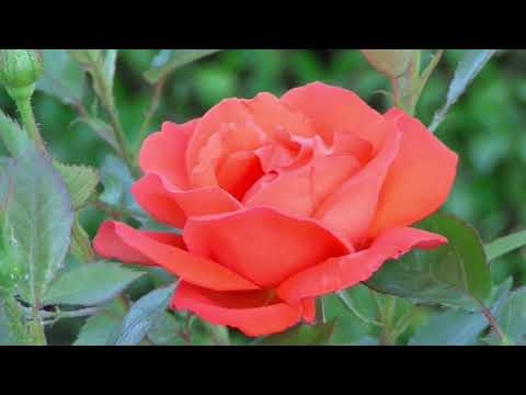 BACKGROUND VIDEO FREE HD Rose 3654