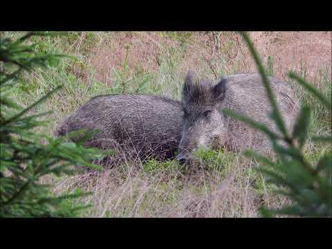 Divočáci na borůvkách - Videolovy - Life in nature