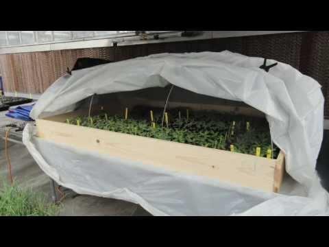 Grafting Tomatoes:  Healing Chamber