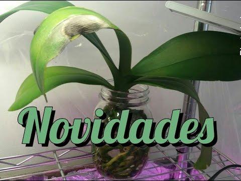 Minhas novas mudas - Phalaenopsis e Sedum sieboldii