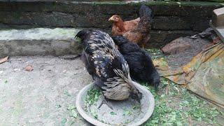 Black bird kadaknath