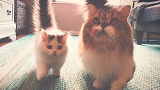 Two of the Cutest Munchkin Cats You'll Ever Meet!
