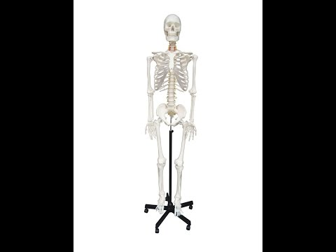 BEST PRICE Wellden Product Life-size Medical Anatomical Human Skeleton Model on SALE & Review