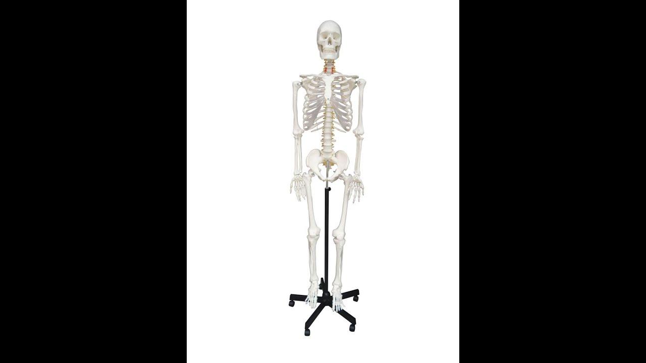 Wellden Product Life-size Medical Anatomical Human Skeleton Model ...
