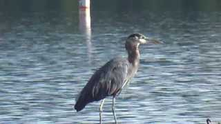 Blue Heron Fishing off our log boom at Silver Lake Resort near Mt. St. Helens