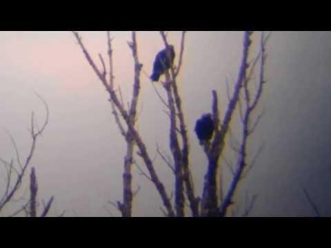 Eastern Imperial Eagle - Aquila heliaca, Vysoká pri Morave 8.2.2014