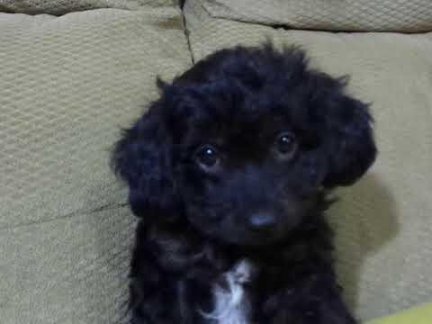 Ebony, Toy Poodle  Cavachon