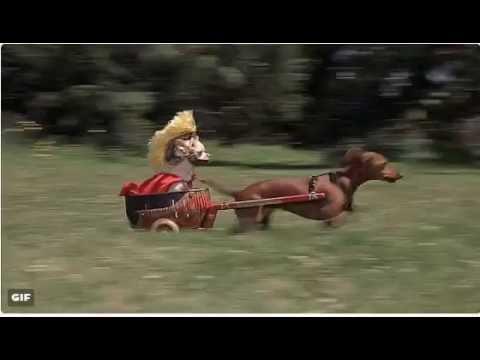 Chariot racing Centurian Chihuahua and Daschund