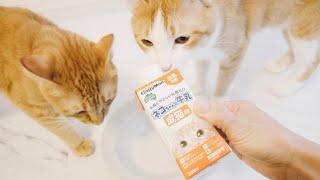 初めて牛乳を飲んだ猫はこんなリアクションをする
