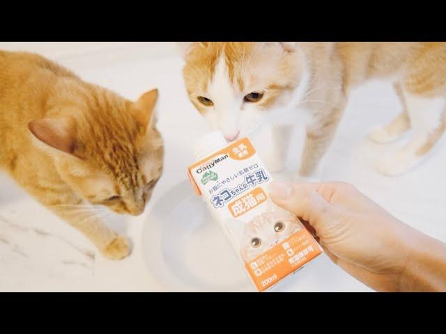 猫が牛乳を欲しがるのであげてみた