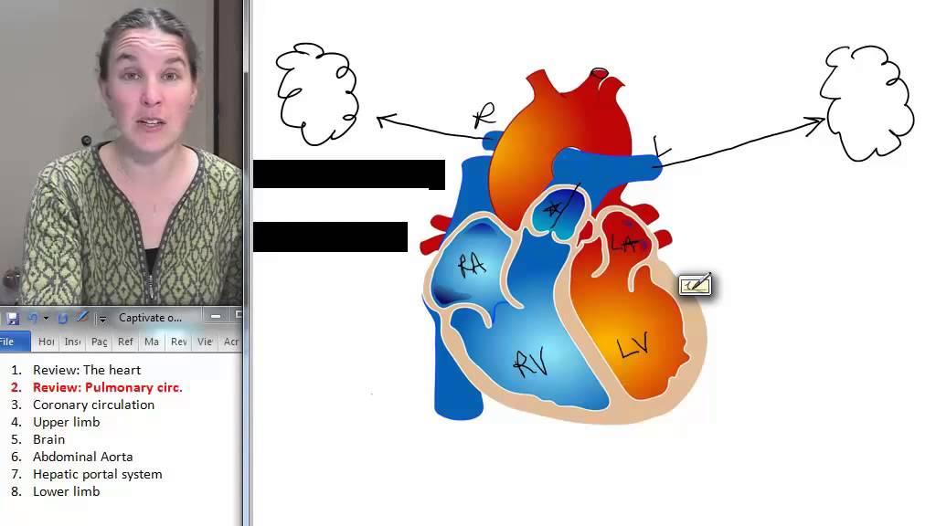 Pulmonary Circulation Peripheral Vasculature Human Anatomy
