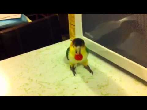 White bellied caique eat play with tomato
