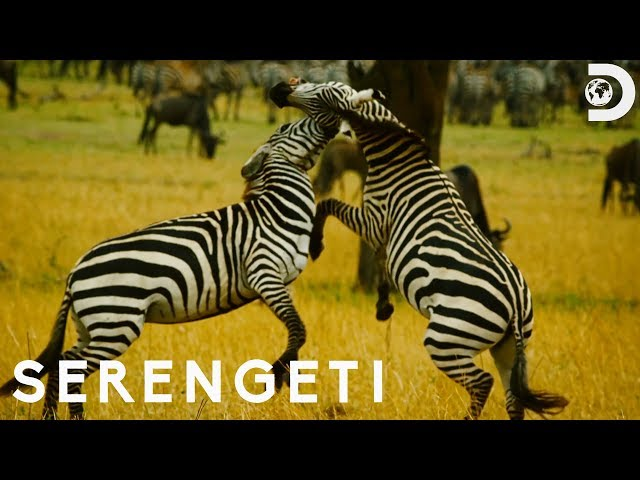 Zebra Stallions Fight for Control of Family | Serengeti