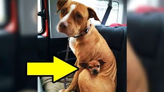 Man Comes To Adopt Pit Bull At Shelter, But She Refused To Let Go Of Her Best Friend
