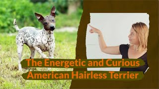The Energetic and Curious American Hairless Terrier