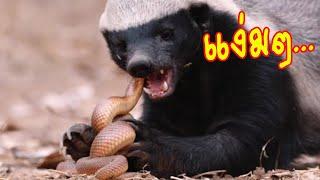 สัตว์ 5 ชนิด ที่ชอบกินงูพิษเป็นชีวิตจิตใจ#ตามไปมอง