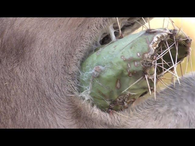 Camels vs. Cactus!!!   جمل
