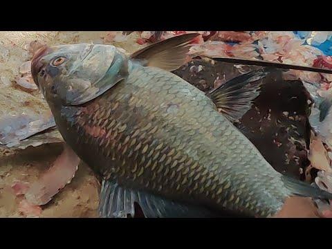 Live Amazing Katla Fish Cutting Skills & Fillet Big Fish Slicing In The Fish Market