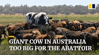 1,400kg cow in Australia spared from slaughter for being too big