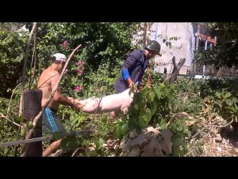 Quá trình bắt heo (Lợn) của một đồng chí đoàn viên