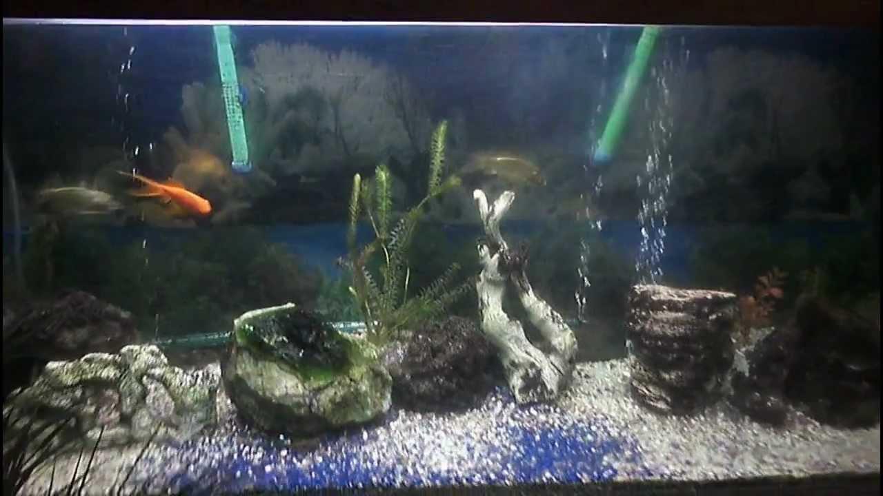 Acuario de 720 lts con peces de agua fria youtube for Agua para peces