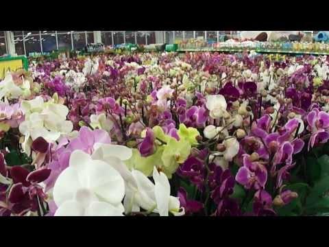 Орхидея Камбрия — ваше персональное чудо