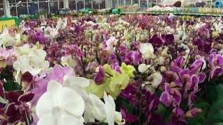 №7.  Успешый цветовод. ОРХИДЕЯ. Как ухаживать, пересадка, подкормка, полив flowers(На канале