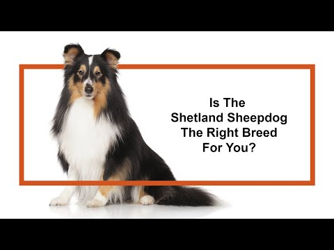 Learn all about the Shetland Sheepdog and why they could be your perfect pet!