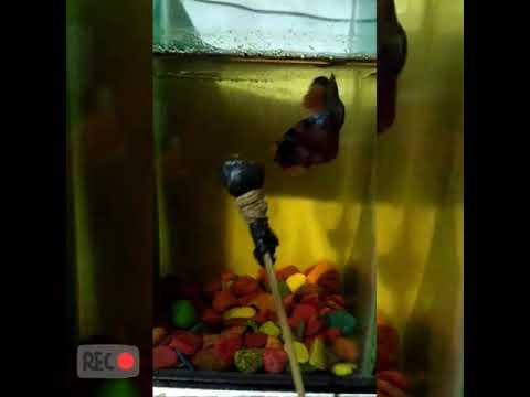 Ikan cupang nemo - YouTube