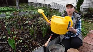 Подкормите пионы весной! Чем подкормить пионы весной, как защитить от болезней