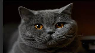 British Shorthair cat Compilation and Mix