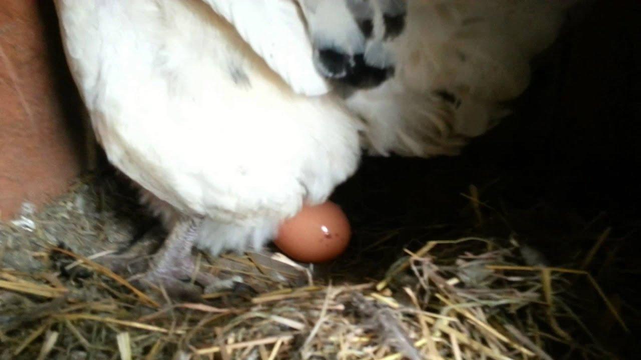 slepice snasi vejce - YouTube
